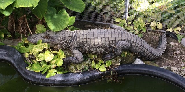 Westlake Legal Group irwin-the-alligator-Monroe-County-Sheriffs-Office-Animal-Farm Florida inmate charged with feeding pet iguanas to alligator at sheriff's zoo Stephen Sorace fox-news/us/us-regions/southeast/florida fox-news/us/crime fox-news/science/wild-nature/reptiles fox-news/odd-news fox news fnc/us fnc ec2a1322-dcf3-531a-8997-e9627d34f5b4 article