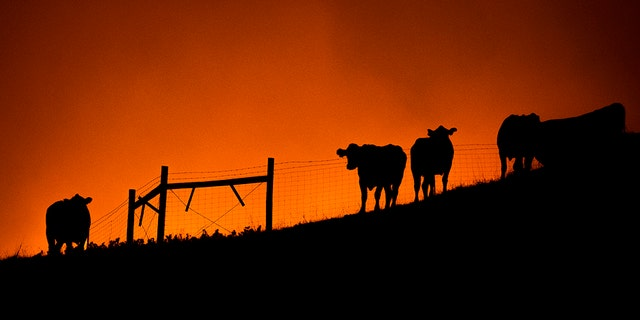 Cows stand on a ridge as the Kincade Fire approaches in unincorporated Sonoma County, Calif., on Thursday. (AP)