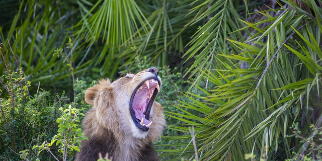 A lion lets out a outrageous bark after photographer Gren Sowerby gets a small too close.  A photographer who got a small too tighten to a lion got a startle of his life when it let out a outrageous roar- and flashed him a impertinent grin (Credit: SWNS)