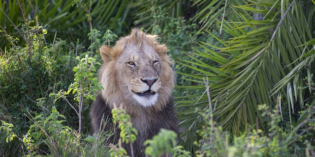 Gren Sowerby leaned in to take a shot of the big cat when all of a sudden it showed him his pearly whites by letting out a massive roar. Sowerby continued snapping photos and was amazed when the lion flashed him a smile after giving him a fright. (Credit: SWNS)