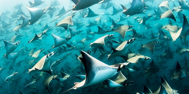 The remarkable sight was captured by ocean photographer Nadia Aly, 35, from Mountain View, California, who spent four hours with the estimated 10,000 rays in the Baja of Mexico, in the northwest of the country. (Credit: SWNS)