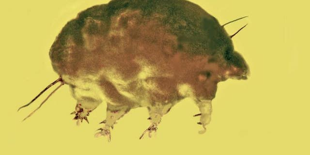 Fossils preserved in Dominican amber reveal a new family, genus and species of microinvertebrate from the mid-Tertiary period, a discovery that shows unique lineages of the tiny creatures were living 30 million years ago. (Provided by George Poinar Jr.)