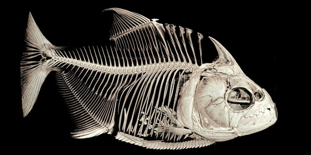 1 / 1A CT-scanned image of the piranha Serrasalmus medinai. Note the ingested fish fins in its stomach. (University of Washington)