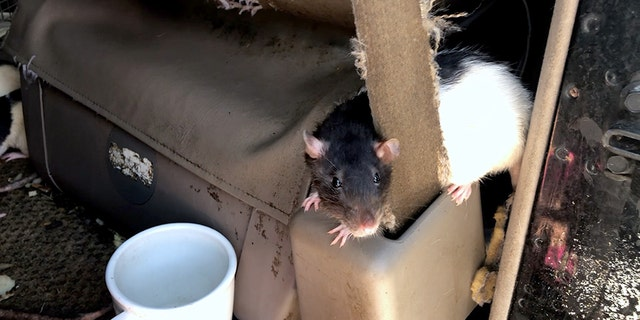 Rats can have a lot of babies quite easily as a healthy litter usually consists of 10 to 12 rats, And they multiply quickly thanks to a four-week gestation period.