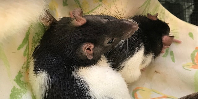 The owner said it all started with two rats, which quickly multiplied out of control.
