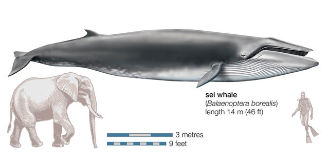 Westlake Legal Group sei-whales-GettyImages-143079502 Scientists to monitor stranded whales from space fox-news/travel/regions/south-america fox-news/science/wild-nature/mammals fox-news/science fox news fnc/science fnc David Aaro article 7c5ff212-8517-50de-a8c4-2da74aa860a7