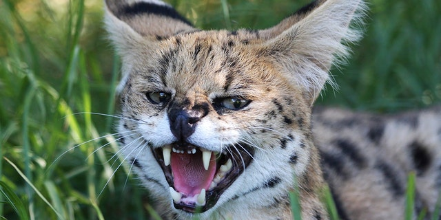 Ezekiel Elliott's father allegedly had a serval cat in Ohio.
