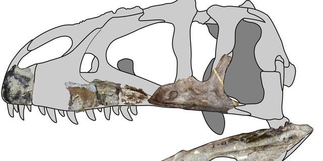Siamraptor skull reconstruction. (Credit: Chokchaloemwong et al., 2019)