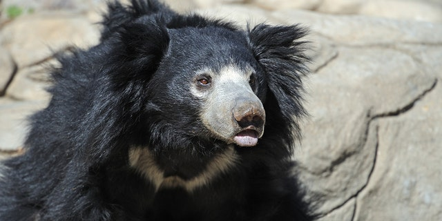 Sloth bear - file photo. (iStock)