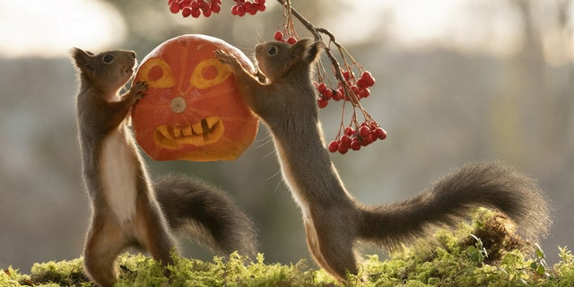 Award-winning wildlife photographer Geert Weggen (corr) befriended the red squirrels in a woodland and is well known for his photo series. (Credit: SWNS)