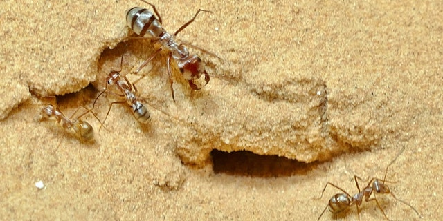The fastest ant in the world has been unveiled by scientists. Named the Saharan silver, after its home, it can cover almost a yard - in a single second. That's 108 times its body length of a third of an inch. (Credit: SWNS)