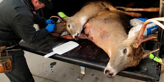 "FILE - In this Nov. 17, 2012, file photo, Mike Zeckmeister, a biologist with the Wisconsin Department of Natural Resources, removes the lymph nodes from one of three deer in a hunter's pickup truck, in order to test them for chronic wasting disease, at a checkpoint in Shell Lake, Wis. ""Zombie deer"" may sound like something in a bad B-movie, but wildlife regulators say they're real and officials are working to keep them out of Nevada. (Scott Takushi/Pioneer Press via AP, File)"