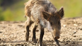Feral hogs uncover huge cocaine stash in Italy forest, reports say