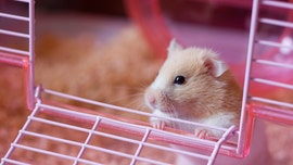 Dad loses daughter's hamster, panics in now-viral text messages