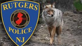 Rutgers warns of 'aggressive' coyote after man bitten