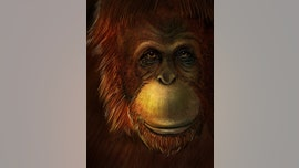Missing link found? 'Original Bigfoot' was close relative of orangutan, study says