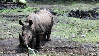Malaysia's lone Sumatran rhino dies, species now extinct in country