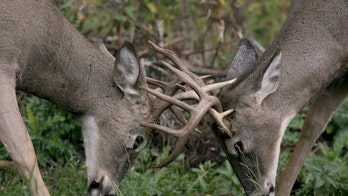 Michigan hunters use branch saw to free 2 bucks after antlers become locked during fight