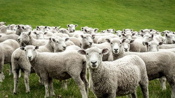 Romania rescuers race to save 14,000 sheep from capsized cargo ship, reports say