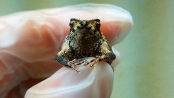 World's first toad born using in vitro fertiziliation from frozen semen