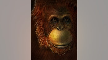 Missing link found? 'Original Bigfoot' was close relative of orangutan, study says