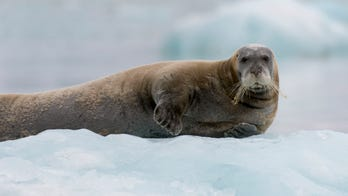 Deadly seal virus could be spreading faster from melting Arctic ice