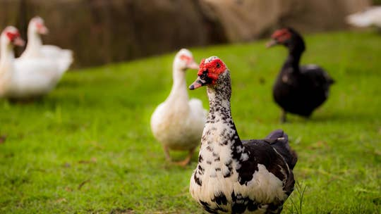 Texas town gets the OK to kill 'invasive' ducks