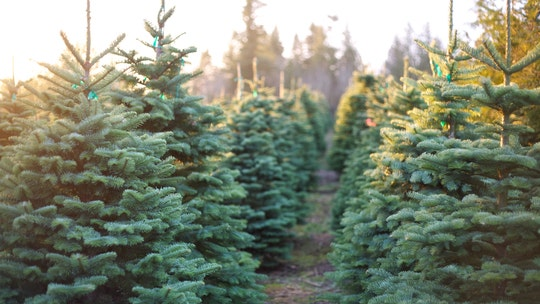 How to keep a Christmas tree alive throughout the season