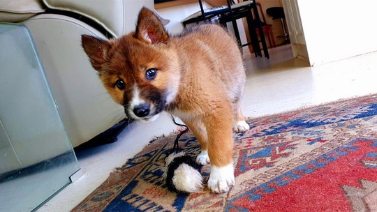 Rare purebred dingo pup dropped by eagle in Australian family's backyard, sanctuary says