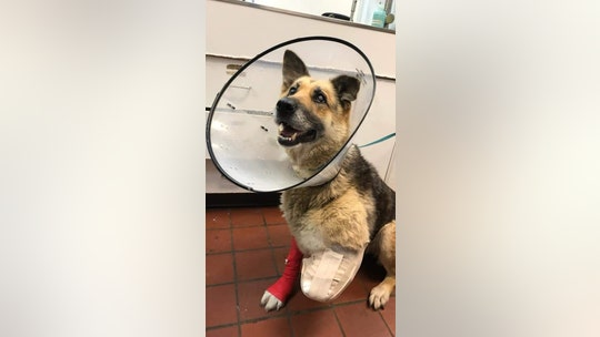 New York dog chewed off own leg while living in crate outside, police say; owner charged