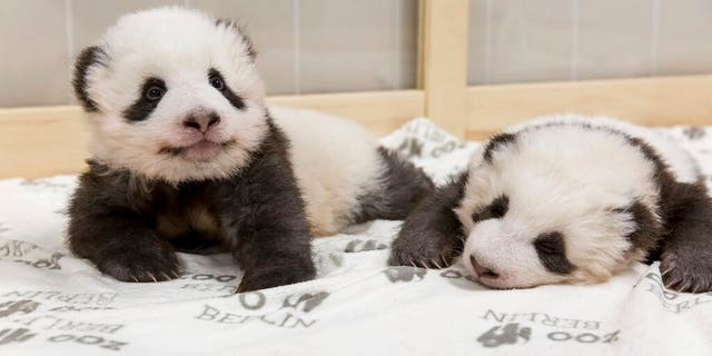 This image provided on Friday, Nov. 22, 2019 by the Zoo Berlin shows two Panda cubs in Berlin, Germany.