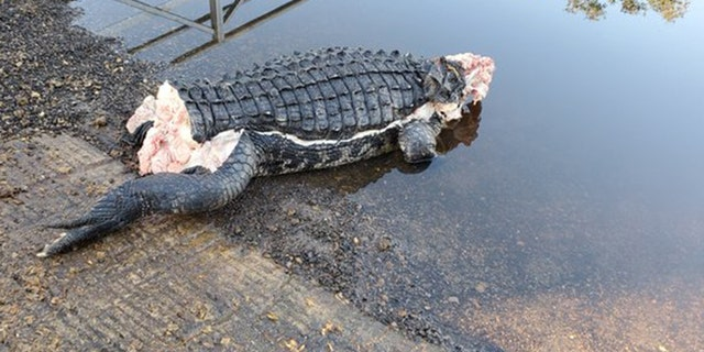 A mutilated alligator in Florida was discovered with its head, tail and many limbs missing.
