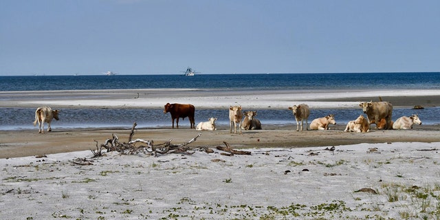 Three cows were spotted near Cape Lookout this month after officials with the Cape Lookout National Seashore said they likely ended up there after swimming up to five miles to get to the shore.