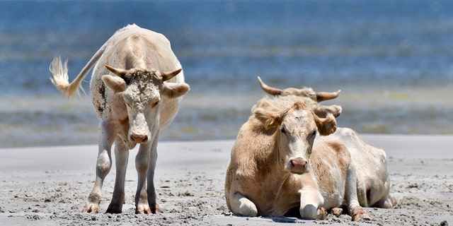 Pictures of the cattle taken before Hurricane Dorrian made landfall on Sept. 6.