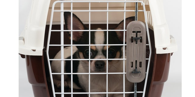A man in Florida allegedly picked up a Chihuahua in a metal cage and tossed it at a family member during a fight last Tuesday night. (iStock, File)