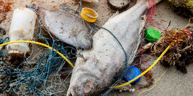 Death fish on the beach with dirty plastic garbage. (iStock)