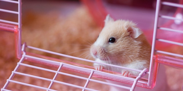 A father's panic after he lost his daughter's pet hamster has officially earned him the title of internet's cutest dad. (Photo: iStock)