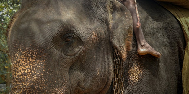 "An image of Kanakota the elephant, who reportedly died in Sri Lanka last month due to ""exhaustion"" from being overworked."