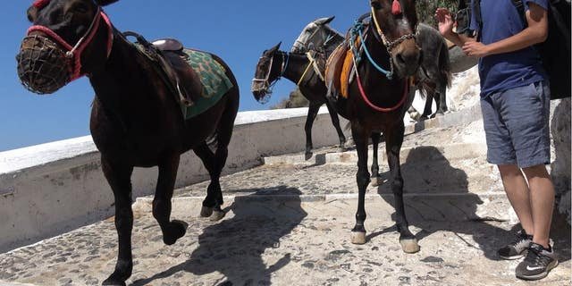 """In October 2018, in a sweeping move for equine rights, Santorini leaders formally banned """"obese"""" tourists weighing over 220 pounds from riding local donkeys at the popular cruise ship destination following international outcry."""