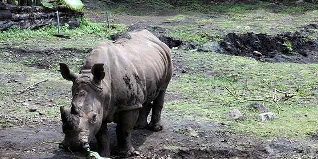 Sumatran rhino extinct in Malaysia as lone survivor dies