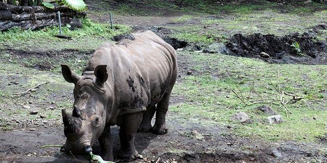 Sumatran rhino eating its food.