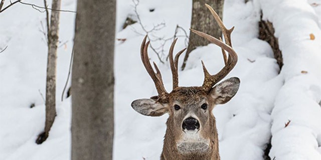 The deer with three antlers was photographed in Michigan's Upper Peninsula​​​​​.