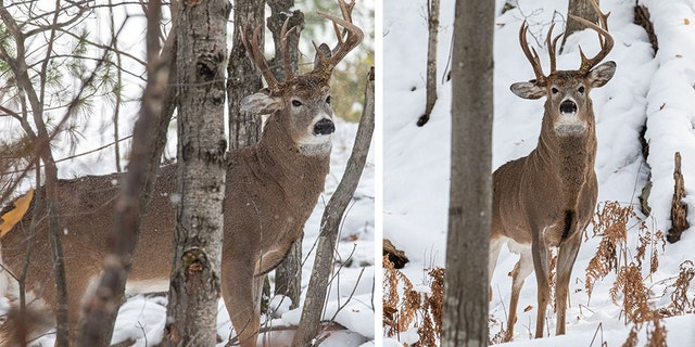 The buck has garnered plenty of interest since it was caught on camera. (Steve Lindberg)