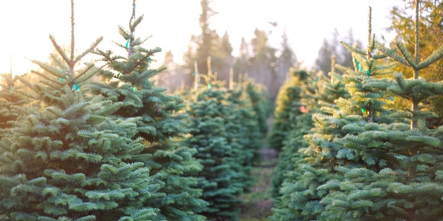 Family traditions continue at Radford Christmas tree farm