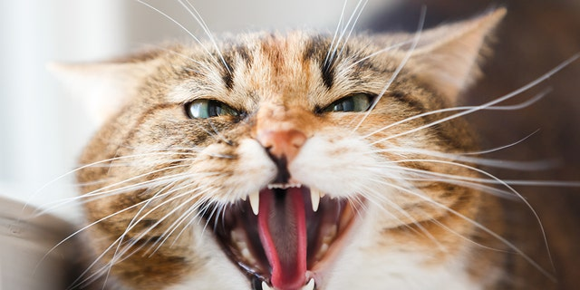 """A Russian man is facing five years in prison for allegedly using a cat as a weapon to attack a police officer in Moscow, according to local media.<br data-cke-eol=""""1"""">"""