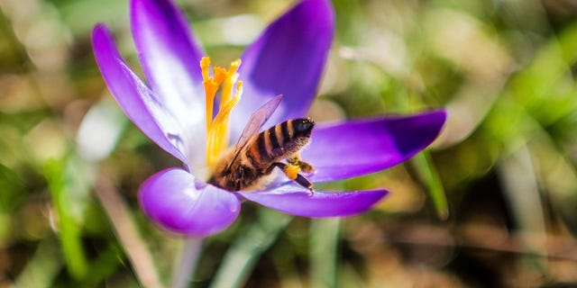 A bee sits on the flower of a crocus in sunshine and springlike temperatures.
