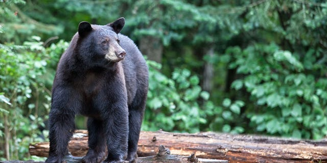 The black bear did not seem to go after the other two hikers the woman was with.