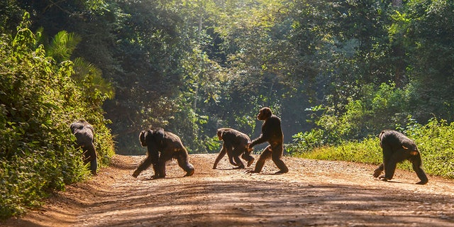 A group of five adult chimps crossing a dirt road surrounded by green forest in natural sunlight. [Credit: iStock)