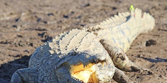 A 11-year-old Zimbabwean girl said she wrestled a crocodile to save her friend.