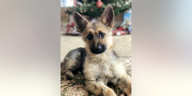 Ranger the German Shepherd with pituitary dwarfism.